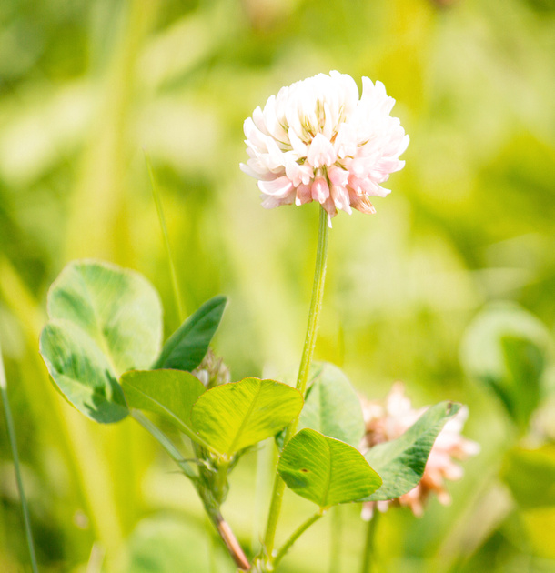 Clover flowers. Bright and sunny!